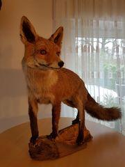 Fuchs Tierpräparat ausgestopft auf Wurzel