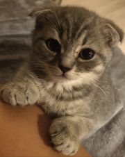Scottish Fold in silver tabby
