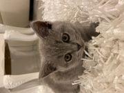 BKH Katzenbaby 9 Wochen alt