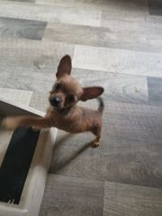 2 mini Chihuahua suchen zuhause