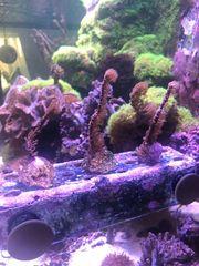 Ableger Gorgonie Koralle Meerwasser