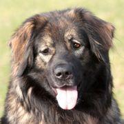 Sora - Leonberger-Sarplaninac - 1 Jahr - Tierhilfe