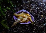 Subulina octona keine Achatschnecken