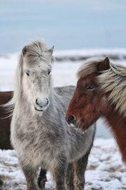 tragende Isländer Stute Windfarbschimmel von