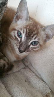 Kleine Bengal Kätzchen suchen ihr