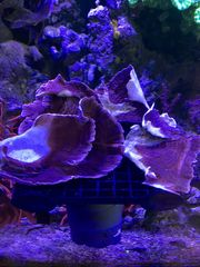 Montipora Steinkoralle SPS Meerwasser