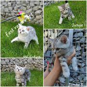 BKH- Kitten Black Silver Tabby