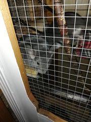 3 Chinchillas mit Käfig und