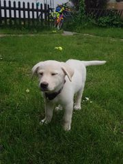 Labrador mix sucht Zuhause