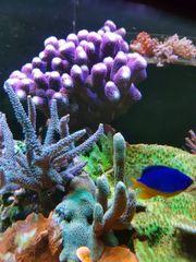Korallen Ableger Milka