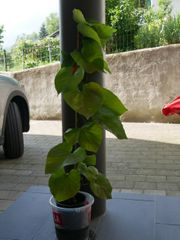 Pfeifenwinde aristolochia macrophylla - Kletterpflanze