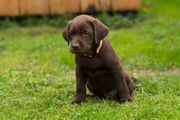 Labrador Welpen in chocolate