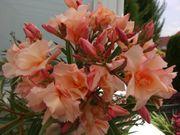 junge Oleander
