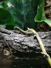 Lygodactylus Williamsi Himmelblauer Zwergtaggecko männlich