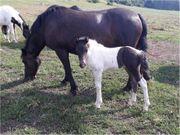 VERKAUFE Lewitzer - Pinto Pony Pferd