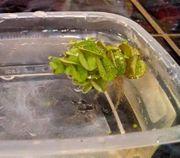 Wasser Schwimmpflanze Büschelfarn