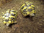 2 Griechische Landschildkröten THB abzugeben