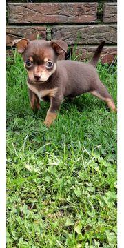 Chihuahua Welpen suchen ein liebevolles