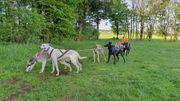 Europäische Schlittenhund Welpen