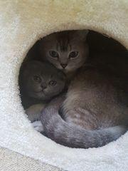 Bkh Kitten