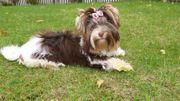 Yorkshire Terrier Biro Mädchen Biewer