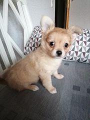 Süßer Chihuahua Rüde