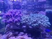 SPS Koralle Meerwasser Ableger Milka