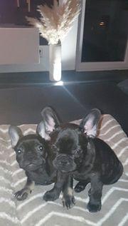 2 Französische Bulldoggen Welpen 2