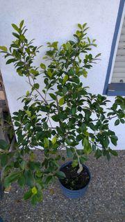 Topfpflanze für Zimmer und Terrasse