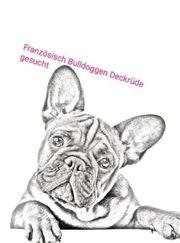 Französisch Bulldoggen Deckrüde gesucht