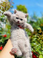 Sensationelle BKH Kätzchen in den