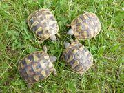 Testudo hermanni hercegovinensis Dalmatinische Landschildkröten