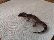 leopardgecko Babys suchen futterspender