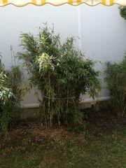 Bambus winterhart
