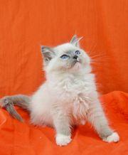 Reinrassige Ragdoll Kitten suchen neue