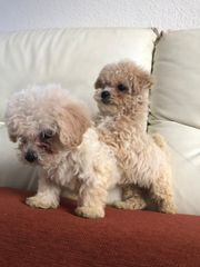 Golden Geschwister Malteser