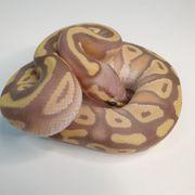 königspython banana Mojave pastel 2