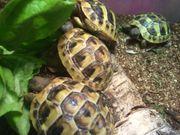Griechische Landschildkröten sehr zahm und