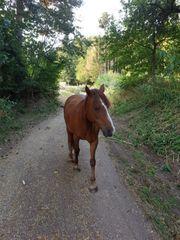 Suchen Pferde Ponypartner