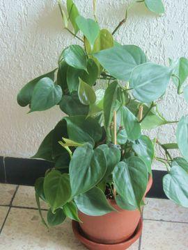 Pflanzen - Zimmerpflanze Philodendron Strahlenaralie Efeutute Begonie