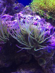 Wachsrosen Anemone Sulcata
