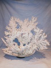 Steinkoralle Weiß Echte Rarität