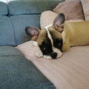 französische Bulldogge 3monate