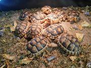 Breitrandschildkröten - Testudo marginata