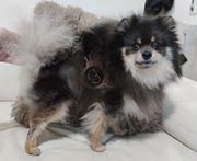 Pomeranian Deckrüde Blue Tan vererbt