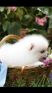 Pomeranian-Zwergspitz Welpen zu verkaufen
