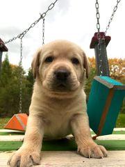 Labrador Welpen mit Stammbaum