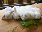 Zwergwidder zwergkaninchen kaninchen