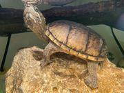 Verkaufe Moschusschildkröten