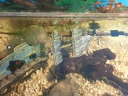 Wasserschlidkröte